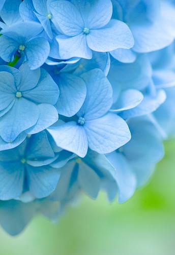 Interview blue hydrangeas